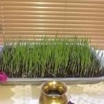 Barley grass Navaratri 2014